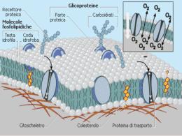 Trasporti attraverso le membrane