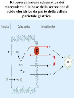Rappresentazione schematica dei meccanismi alla base della