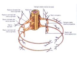 20. nervi spinali