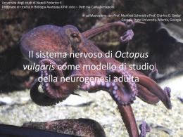 Il sistema nervoso di Octopus vulgaris come